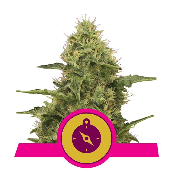 Semillas de marihuana feminizadas Northern Light
