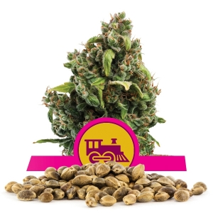 Semillas de Candy Kush Express Fast Flowering a granel