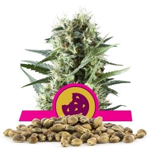 Semillas de Royal Cookies a granel