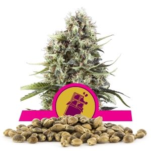 Semillas de Chocolate Haze a granel