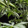 Clips de entrenamiento LST para plantas