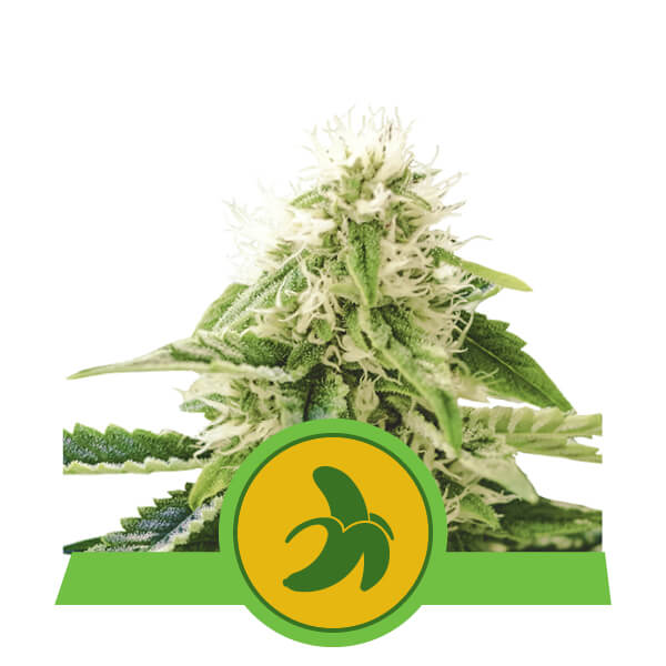 Fat Banana Automatic Royal Queen Seeds