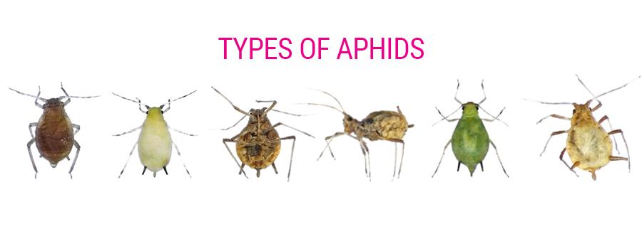 Tipos de áfidos