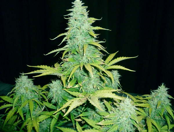 amnesia haze royal queen seeds ruderalis sativa variedad