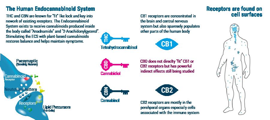 sistema endocannabinoide THC CDB CBN anadnamide