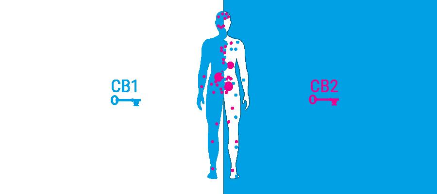 Receptores del cuerpo sistema cannabinoide