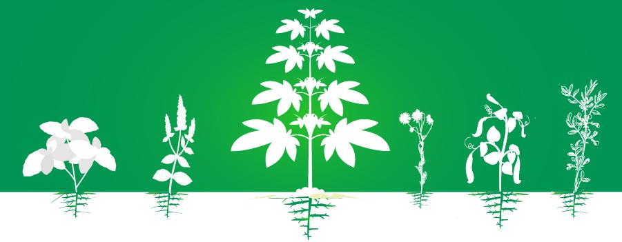 Complemento cultivo de plantaciones de cannabis aumento eficiencia orgánica