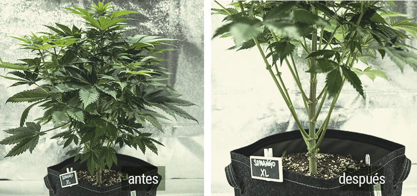 Lollipopping Planta Cannabis