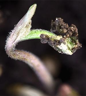 marihuana 12 - 12 desde semilla