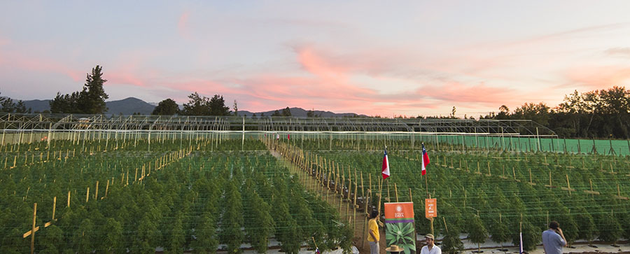 campo de cannabis Chile