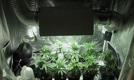 silenciar cultivo de marihuana