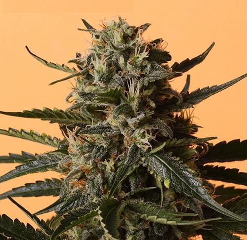 Shining Silver Haze semillas de marihuana feminizadas