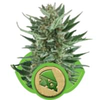 Cheese cannabis autoflowering