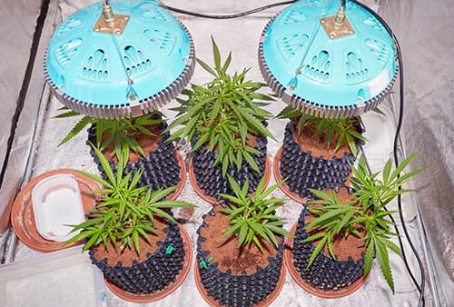 cultivo de cannabis con LED