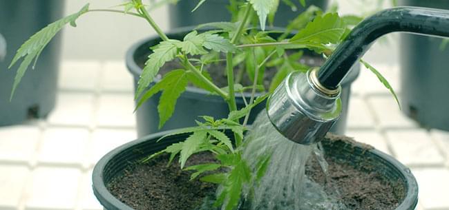 lavado de raices marihuana