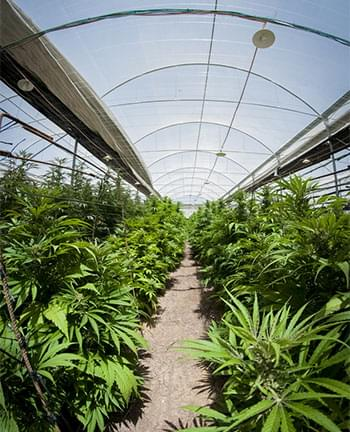 cultivo de cannabis en invernadero