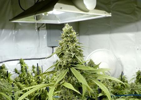 luces HPS cultivo cannabis