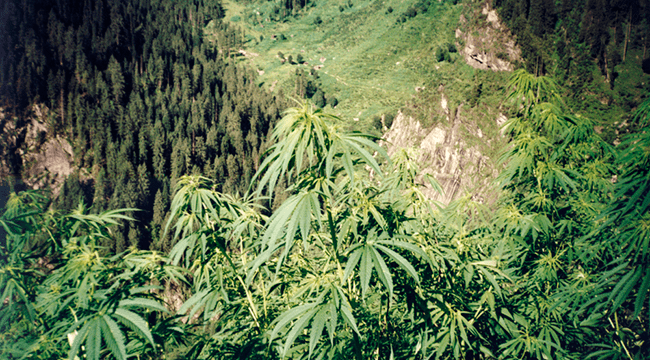 Cannabis UV rayos