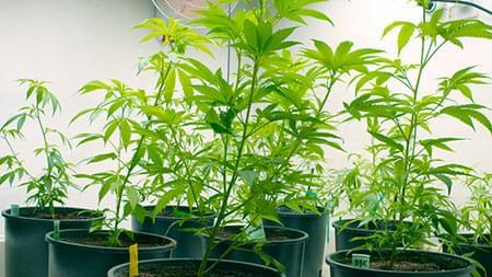 flujo de aire cannabis
