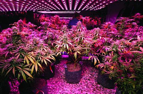 marihuana con luces de LED