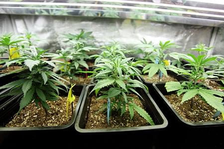 estado vegetativo marihuana