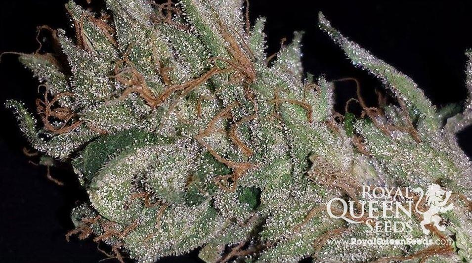 Semillas de Cannabis Feminizada Blue Cheese