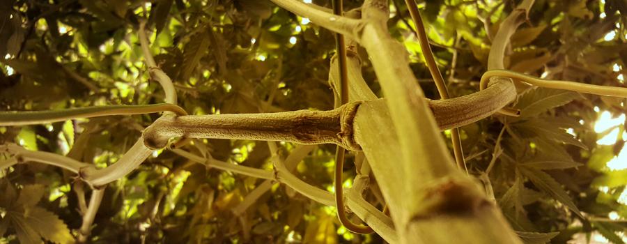 ramas LST formación cannabis
