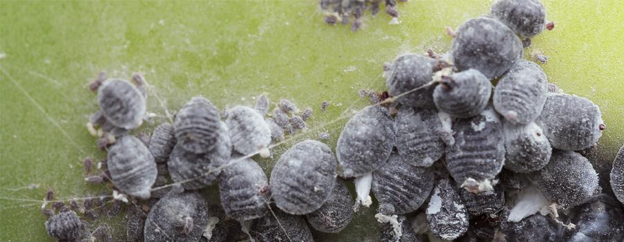 Cochinilla mariquitas clima cálido prevención plantas infectadas cannabis