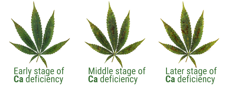 Calcium leaves deficiency