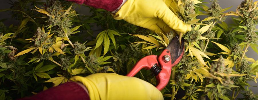Corte de cannabis