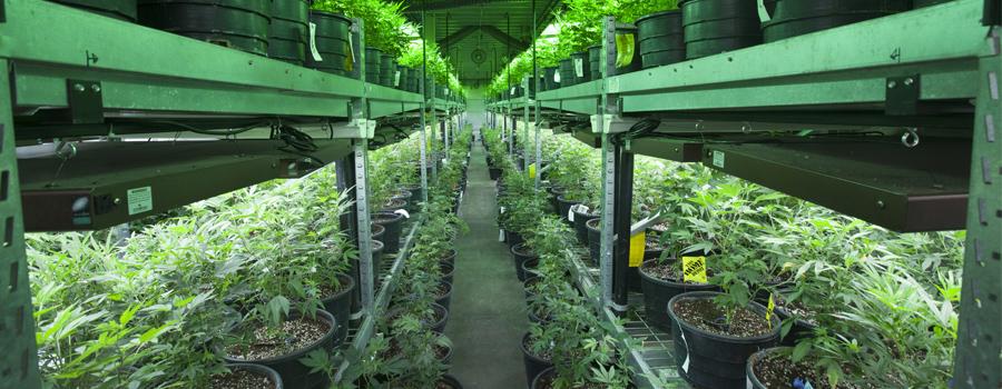 Cultivo de cannabis en interiores