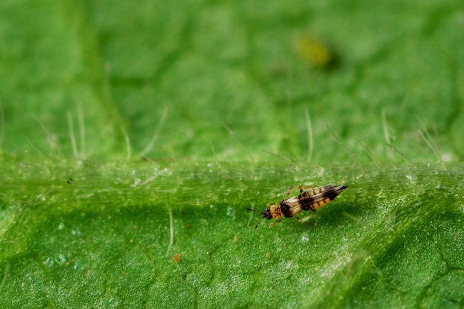 Thrips Cannabis Infestation