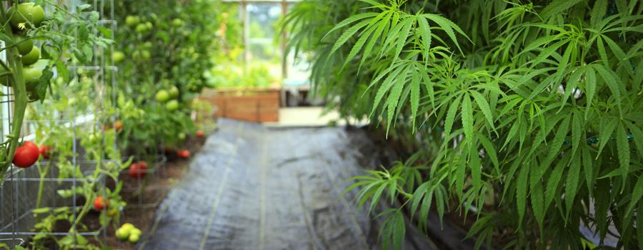 Cultivo en casa cannabis Alemania