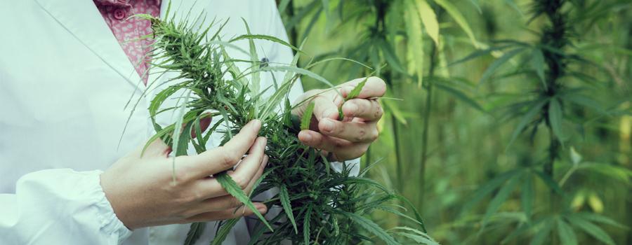 Tratamiento de trastorno bipolar de marihuana medicinal cannabis