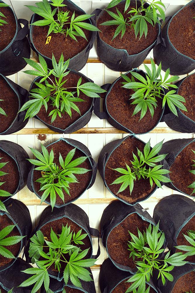 raíces de choque del trasplante olla de cannabis