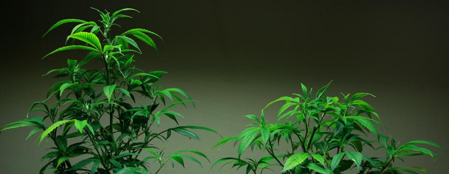 Comparación Topping Planta de cannabis