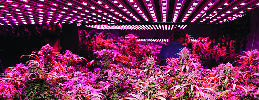 Luces Led Cultivo Cannabis