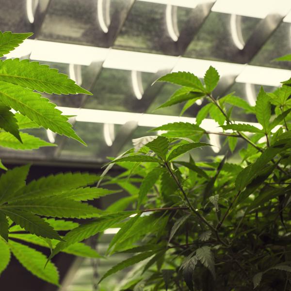 luz cannabis autofloreciente consejo