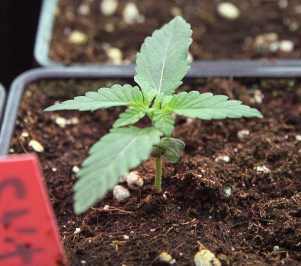germinar cannabis al aire libre