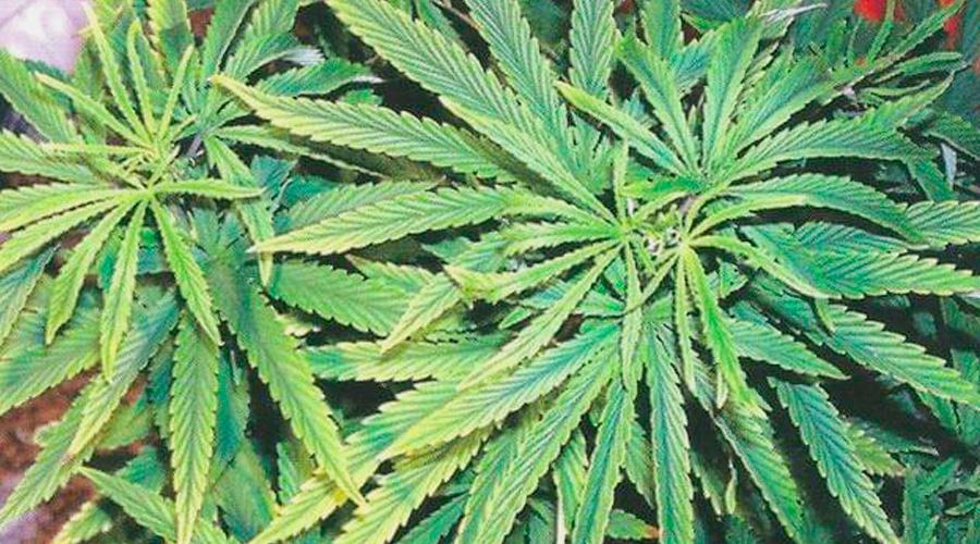 Hierro marijuana