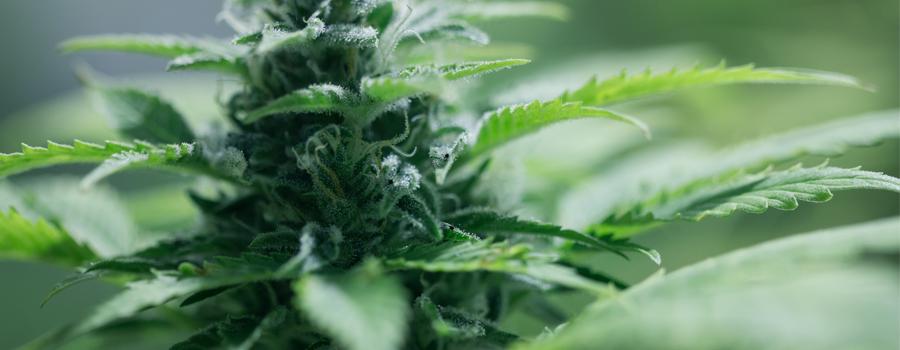 Autofloreciente Cannabis Planta compacta