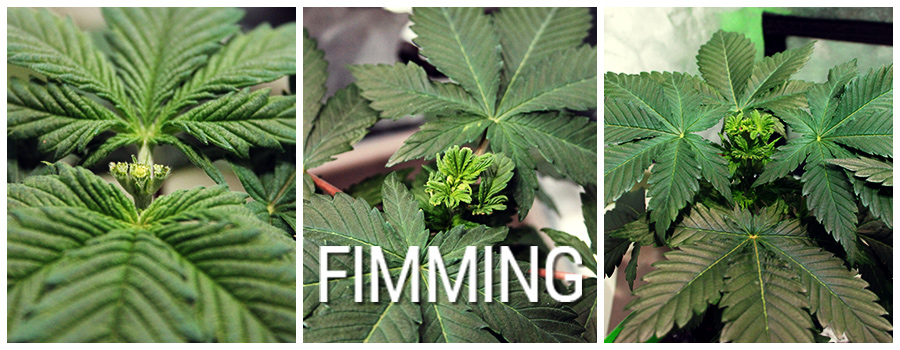 Cannabis Fimming Planta