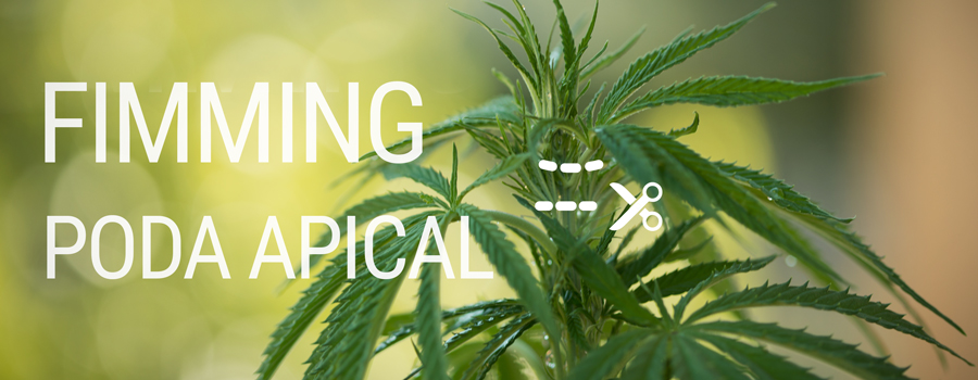 Fimming vs Poda Apical diferencias cannabis