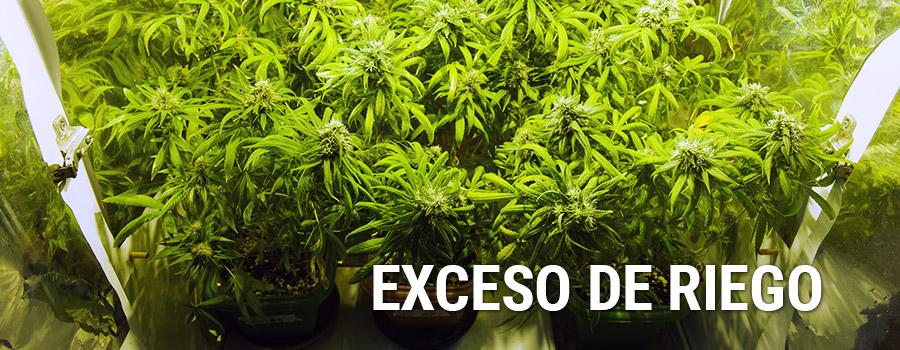 Exceso De Nutrientes Plantas Cannabis