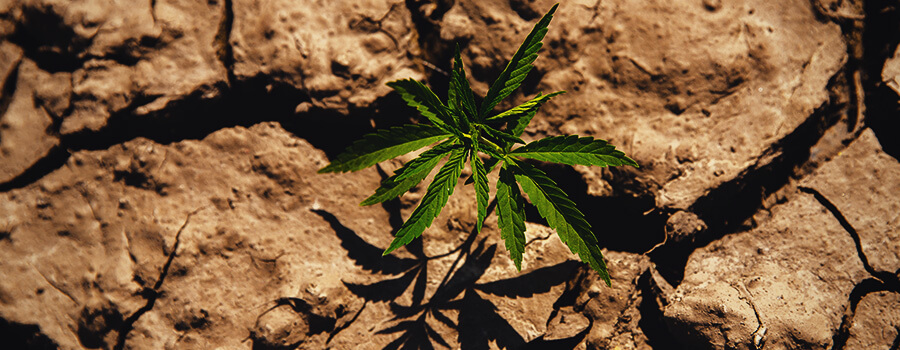 Cannabis Plant Grown in a Drought ConditionPlanta De Cannabis Cultivada En Condiciones De Sequía