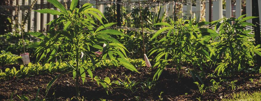 a207b11336e1 Las múltiples ventajas del cultivo de cannabis sin laboreo - RQS Blog