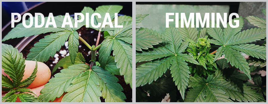 Poda Apical Y Fimming Cannabis