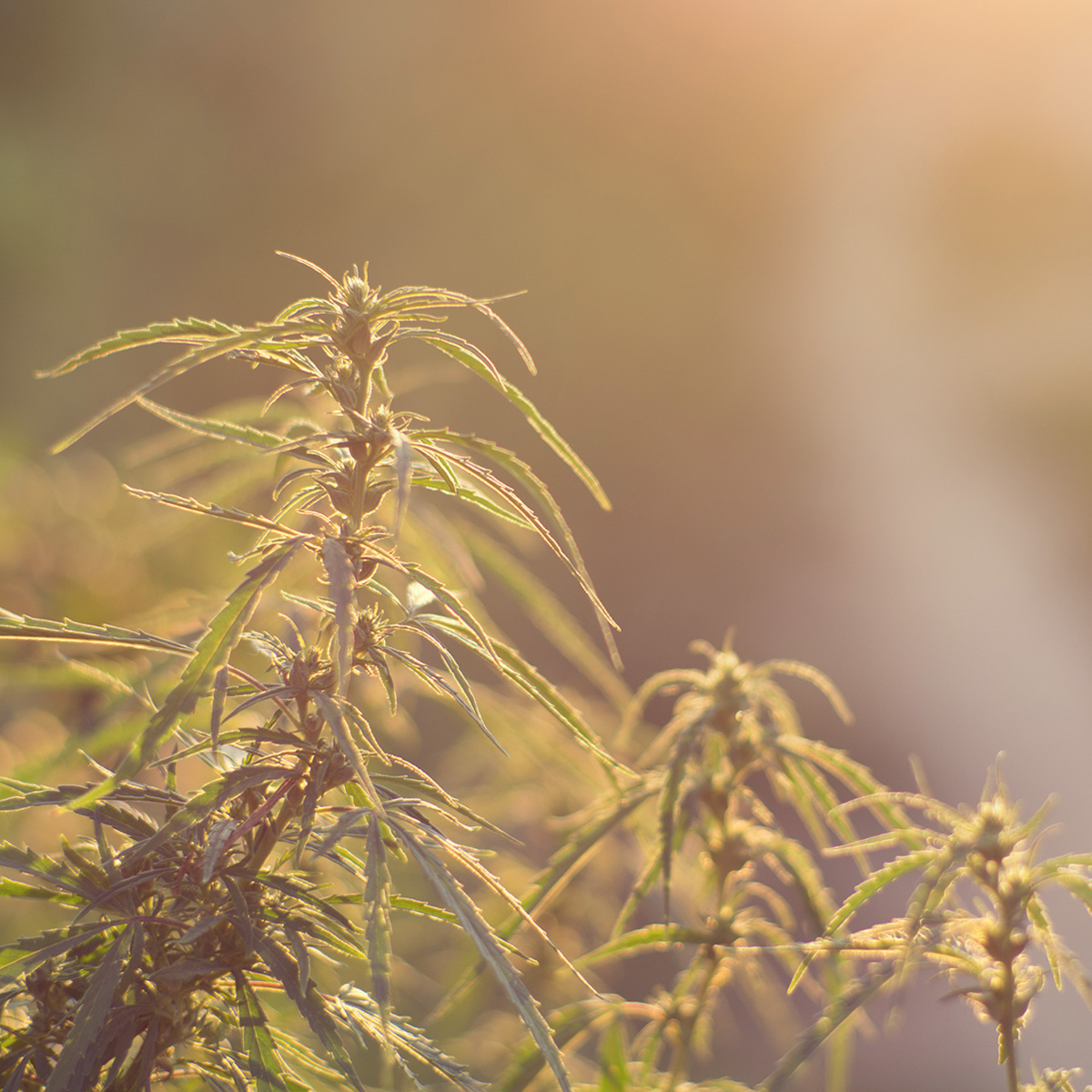 cannabis estrés calor