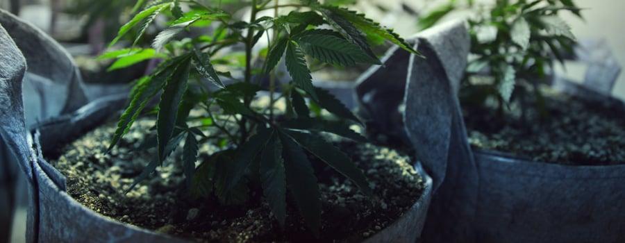 Cultivo de cannabis gatos y perros