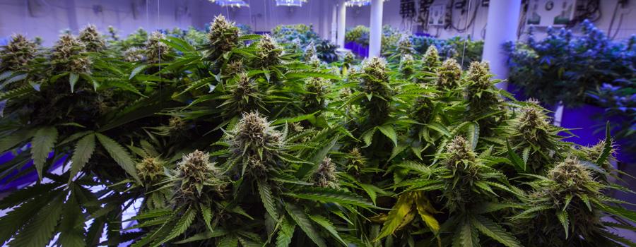 Industria del cannabis alemania